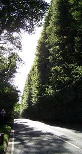 Tallest Hedge in the World